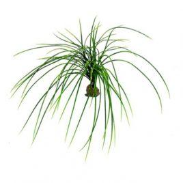 Congo Gras