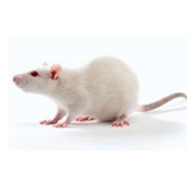 Ratten gefroren