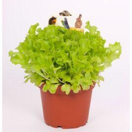 Baby Leaf Salat 8 Pflanzen sortenrein