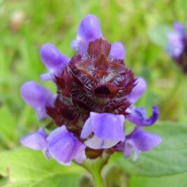 Kleine Braunelie 8 Pflanzen sortenrein