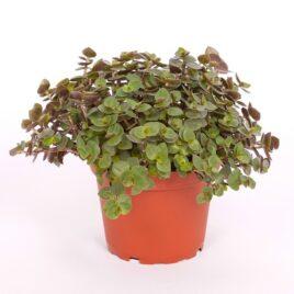 Callisia (Schönpolster) 8 Pflanzen sortenrein