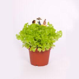 Feldsalat (Nüsslisalat) 8 Pflanzen sortenrein