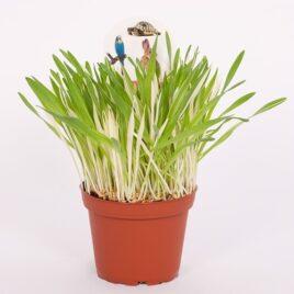 """Gerste """"Tabby"""" 8 Pflanzen sortenrein"""