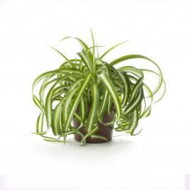 Grünlilie (Chlorophytum) 8 Pflanzen sortenrein