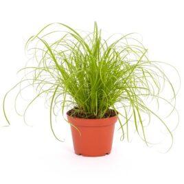 Katzengras (Cyperus zumula) 8 Pflanzen sortenrein