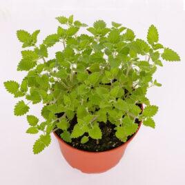 Katzenminze (Nepeta) 8 Pflanzen sortenrein