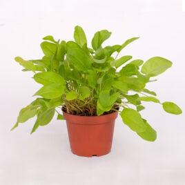 Sauerampfer (Suurampfere) 8 Pflanzen sortenrein