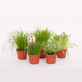 Futterpflanzen Sortiment Katzengras