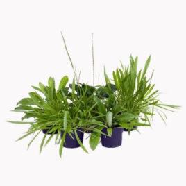 Futterpflanzen Sortiment Wegerich