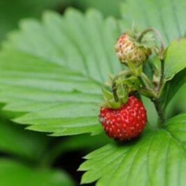 Wald-Erdbeere 8 Pflanzen sortenrein