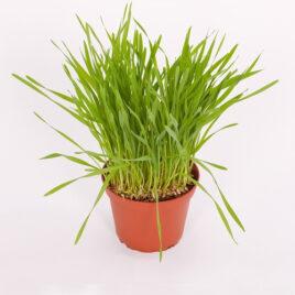 Weizen (Futtergras) 8 Pflanzen sortenrein