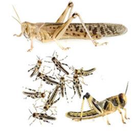 Wüstenheuschrecken subadult 100 Stk. (SILBER Member)